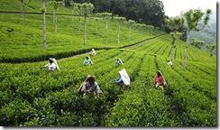 AuManoirDesAromes-plantation-thé-Inde